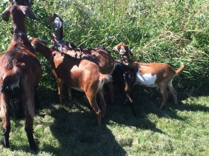 goat butts